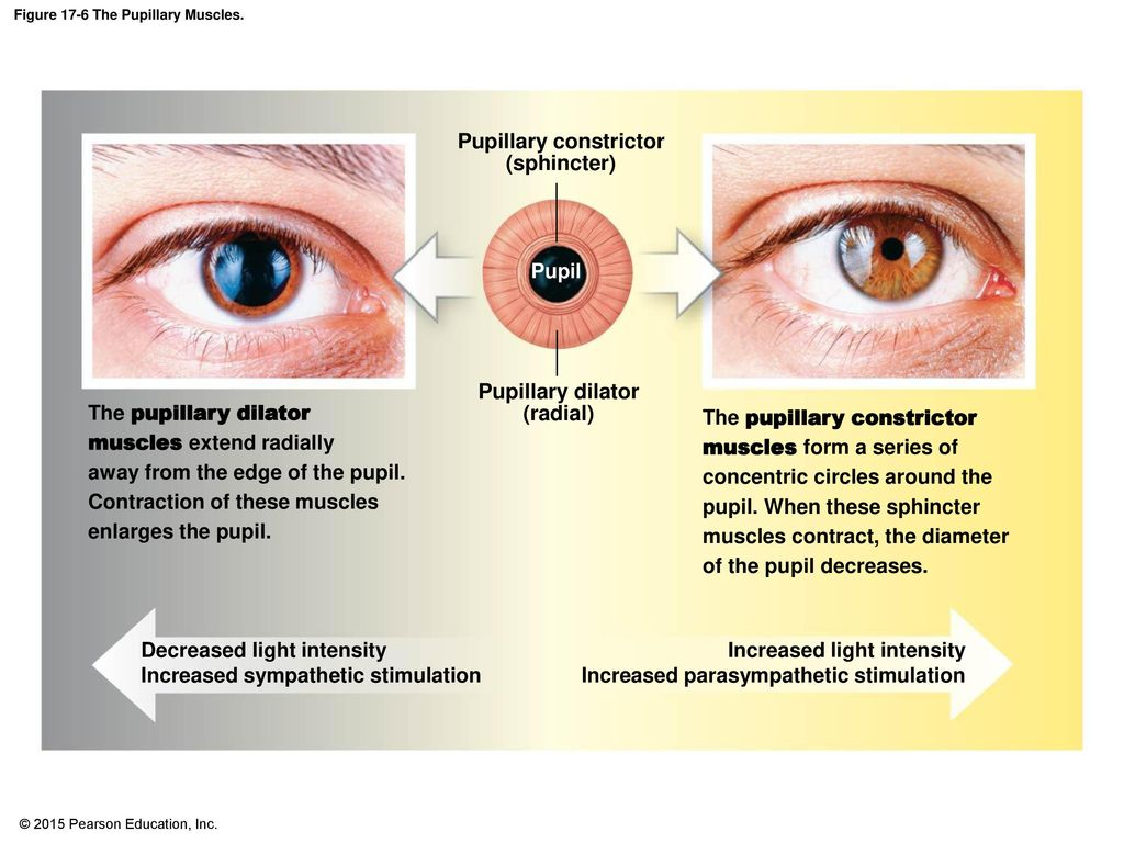 Figure 17 5b The Sectional Anatomy Of The Eye Ppt Download