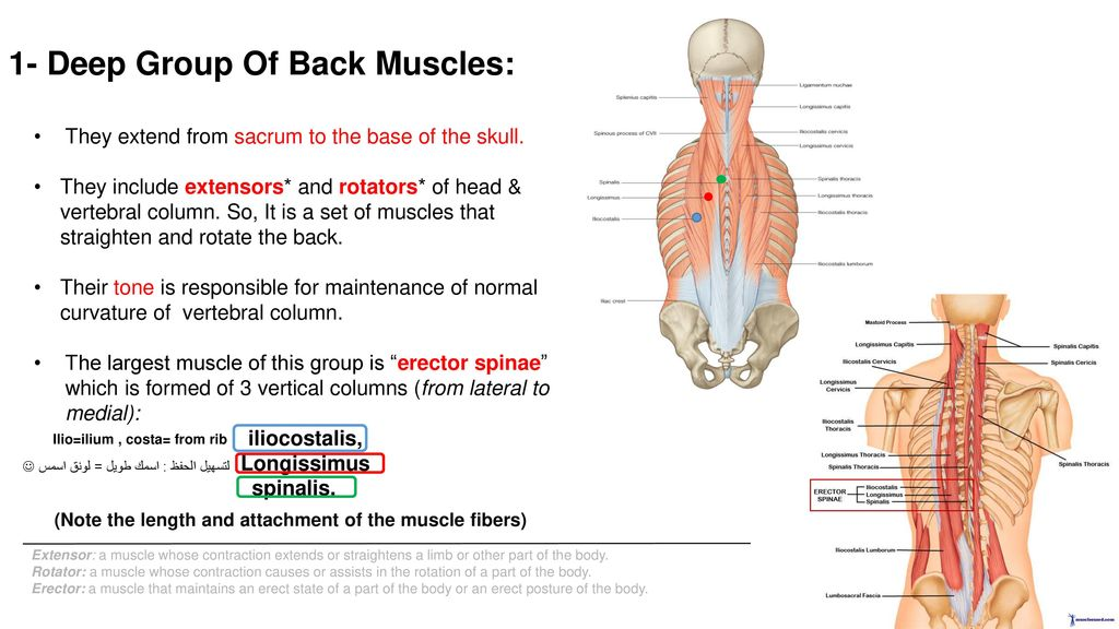 Muscles Of The Back Editing File Ppt Download