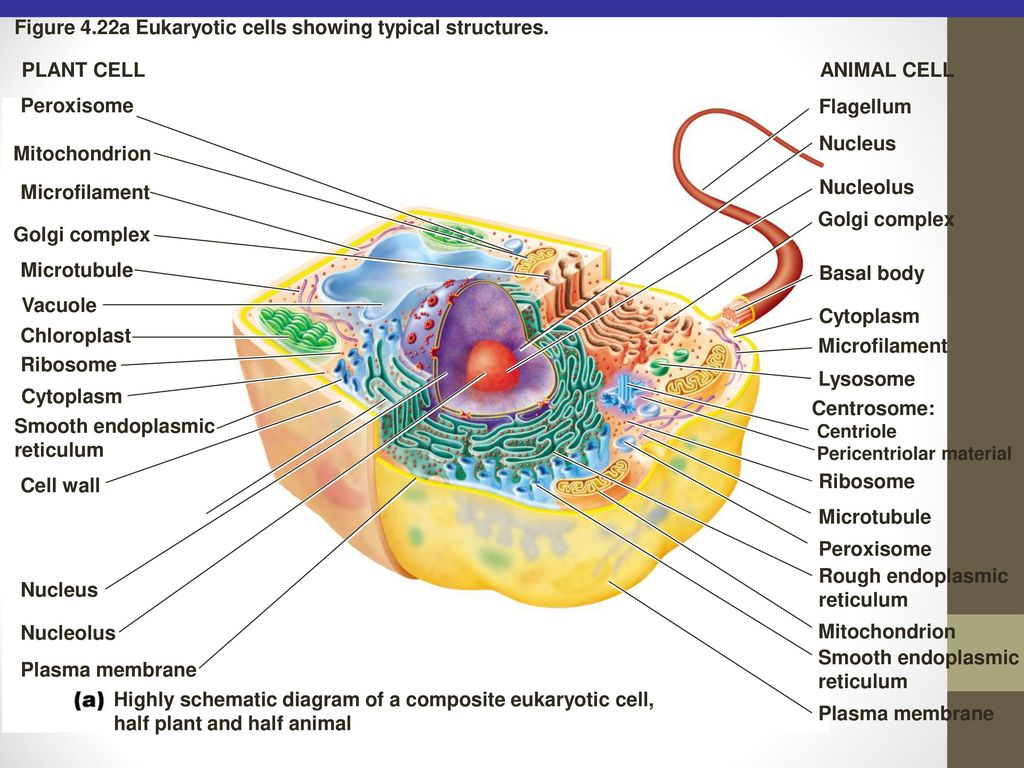 Functional Anatomy Of Prokaryotic And Eukaryotic Cells Ppt Download Animals Left Plant Right Figure 422a Showing Typical Structures