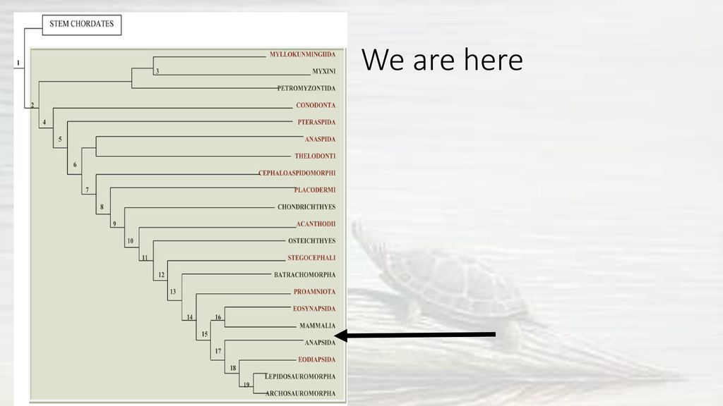 The Anapsids and Diapsids - ppt download