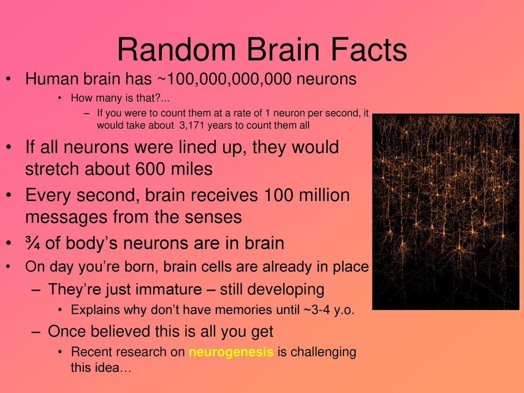 Random Brain Facts Mr  Koch AP Psychology Andover High