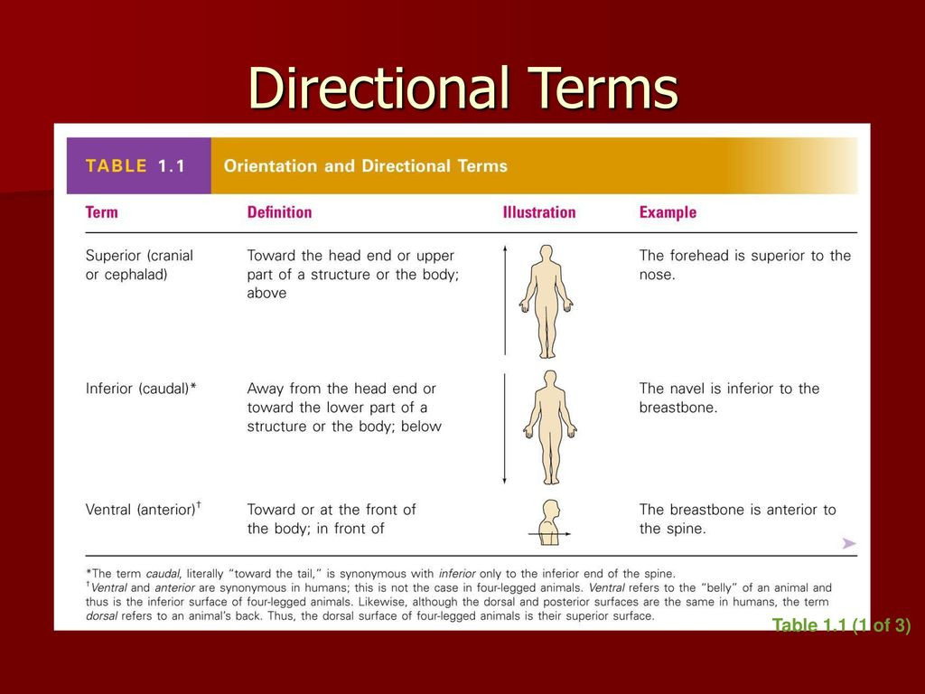 Dorable Orientation And Directional Terms Anatomy Collection ...