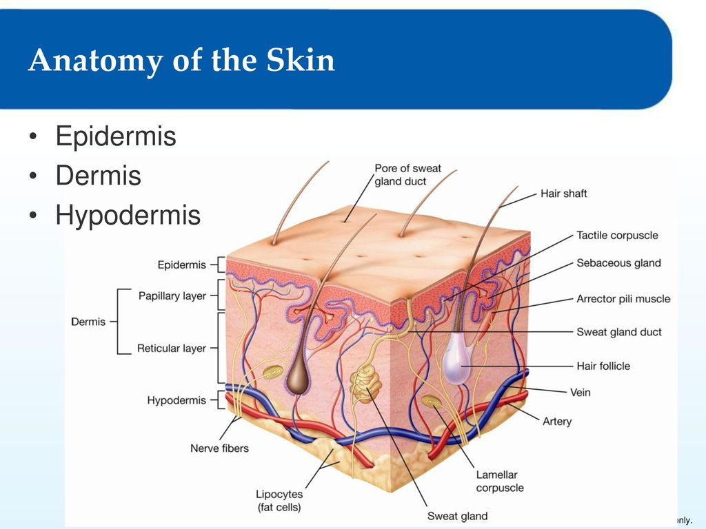 Chapter 3 Membranes And The Integumentary System Ppt Download