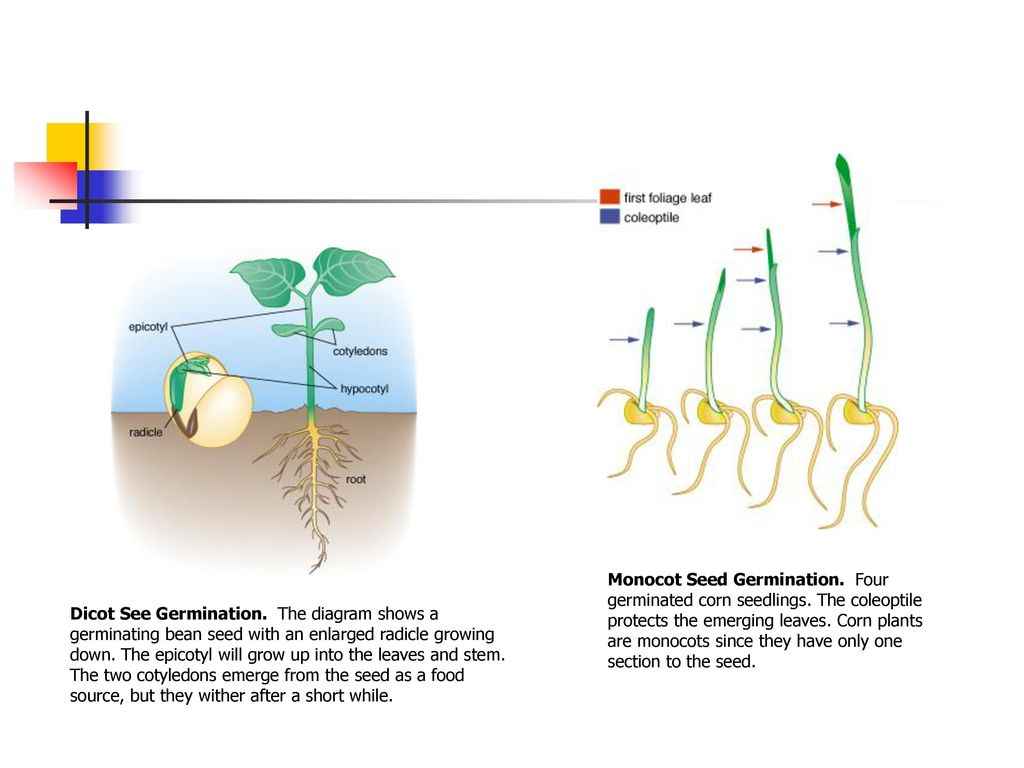 Introduction To Plant Biotechnology Chapter Ppt Download Seed Germination Diagram Monocot Four Germinated Corn Seedlings