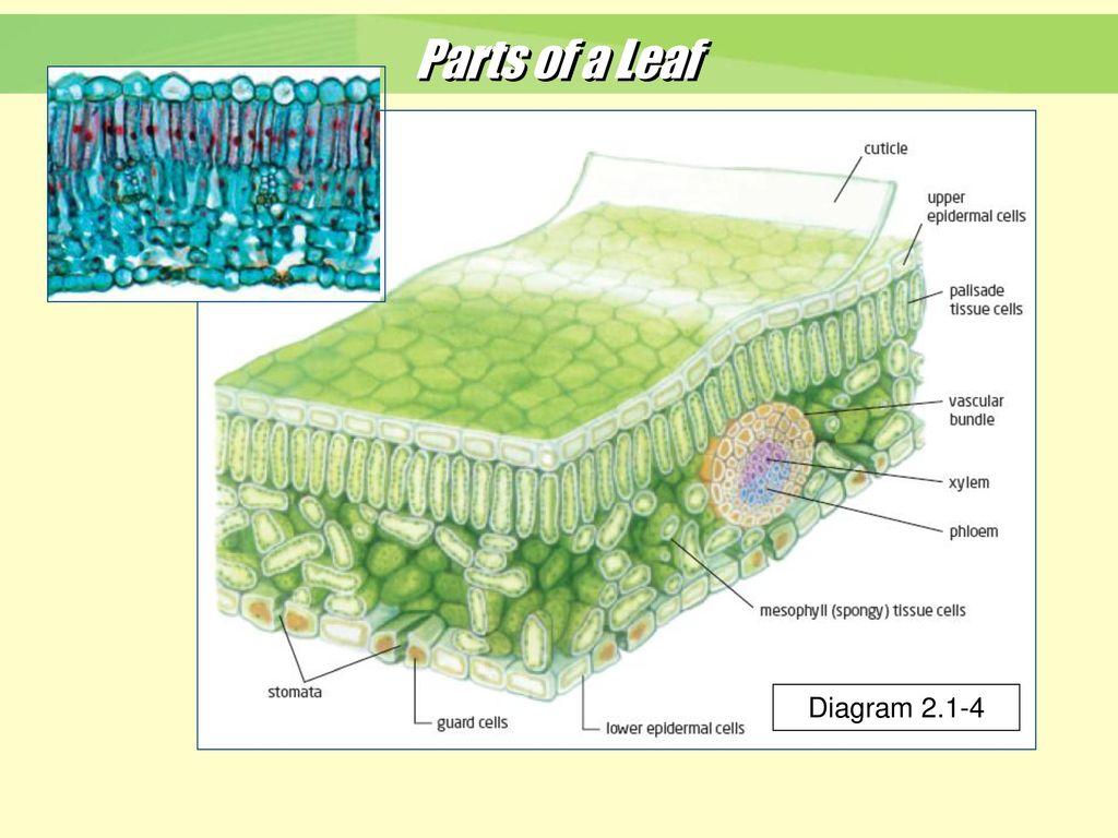 Parts+of+a+Leaf+Diagram+2.1 4 figure 3 flower structure ppt download