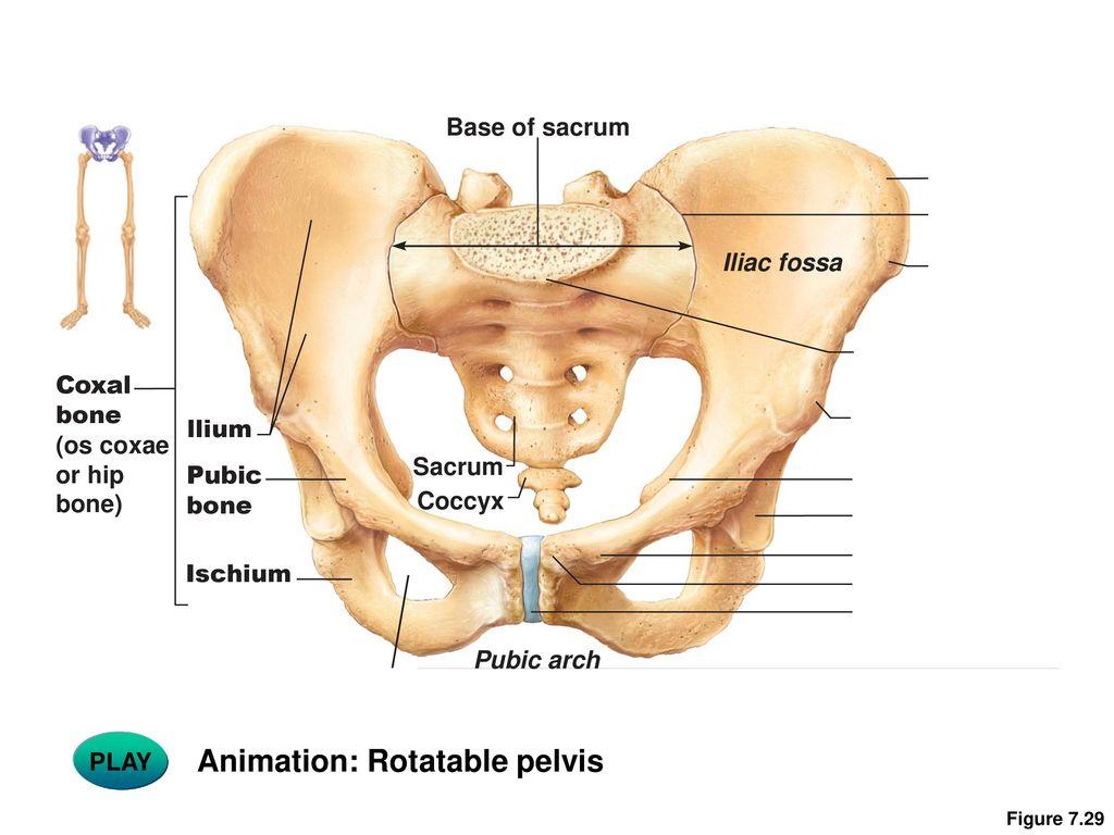 Anterior Superior Iliac Spine Bones Topsimages