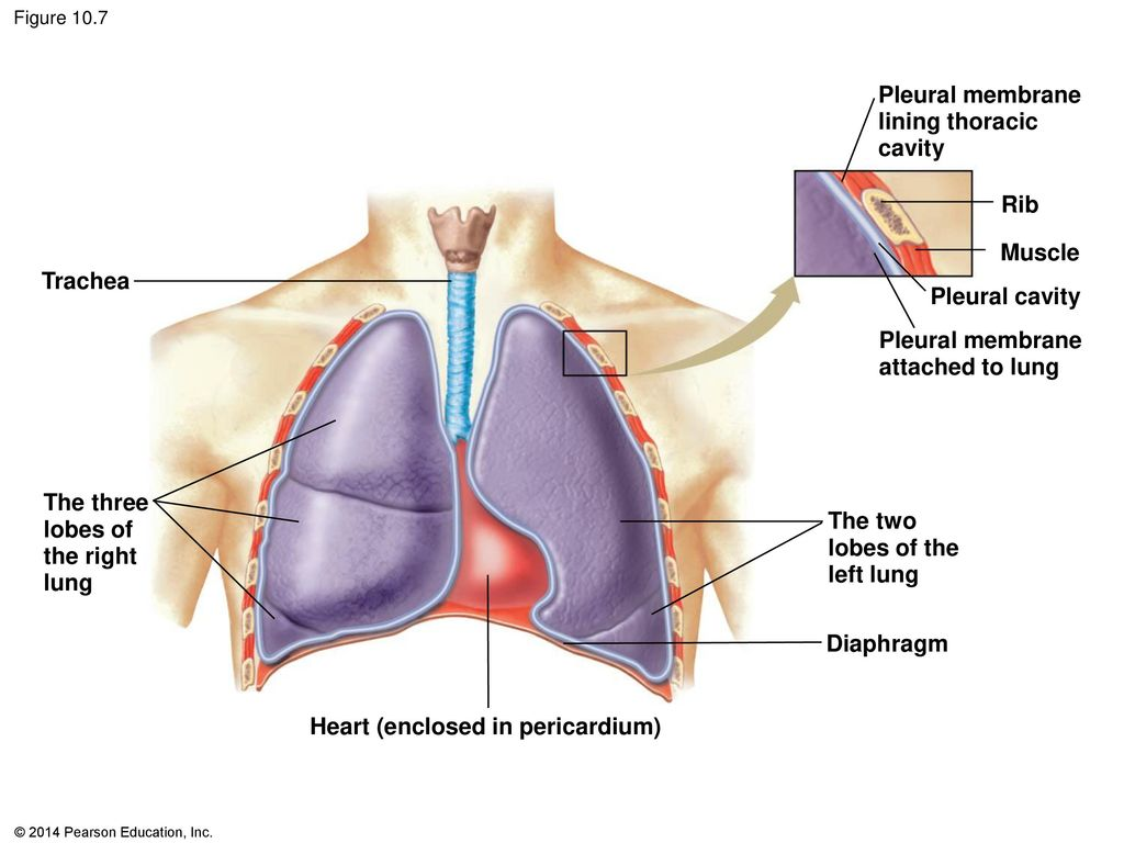 the respiratory system: exchange of gases - ppt download