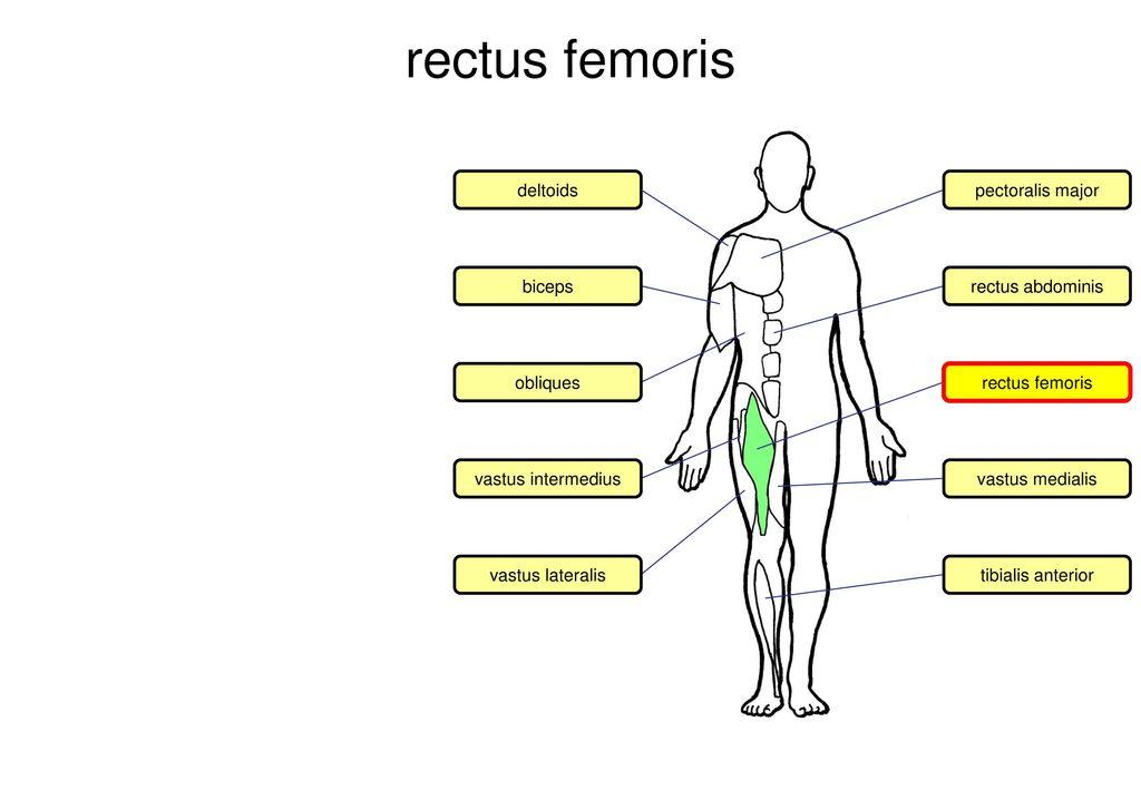 7 rectus femoris