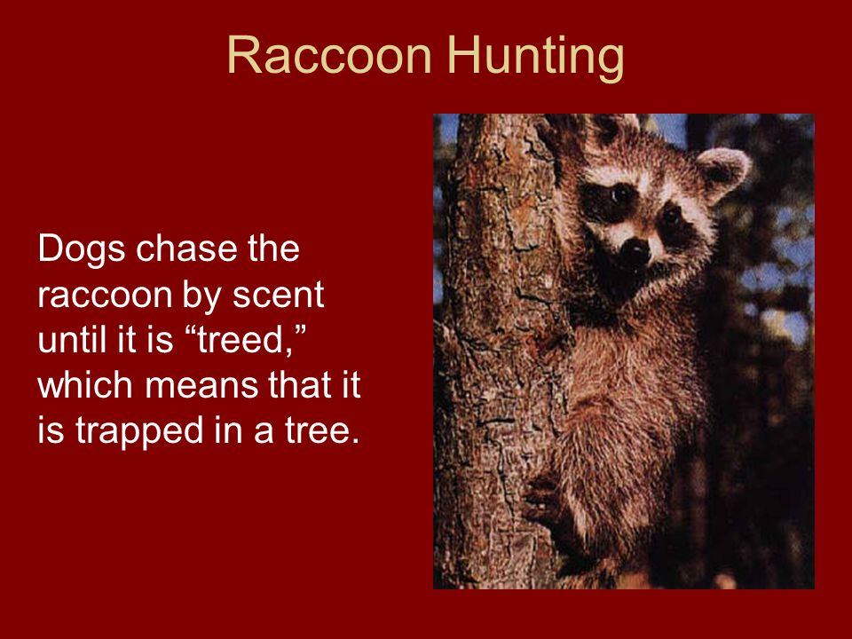 Raccoon Hunting Dogs chase the raccoon by scent until it is treed, which means that it is trapped in a tree.