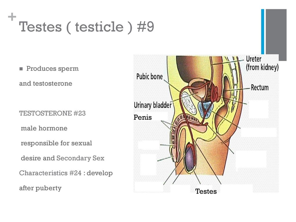testicle-size-sperm-production-mature-sex-with-boots