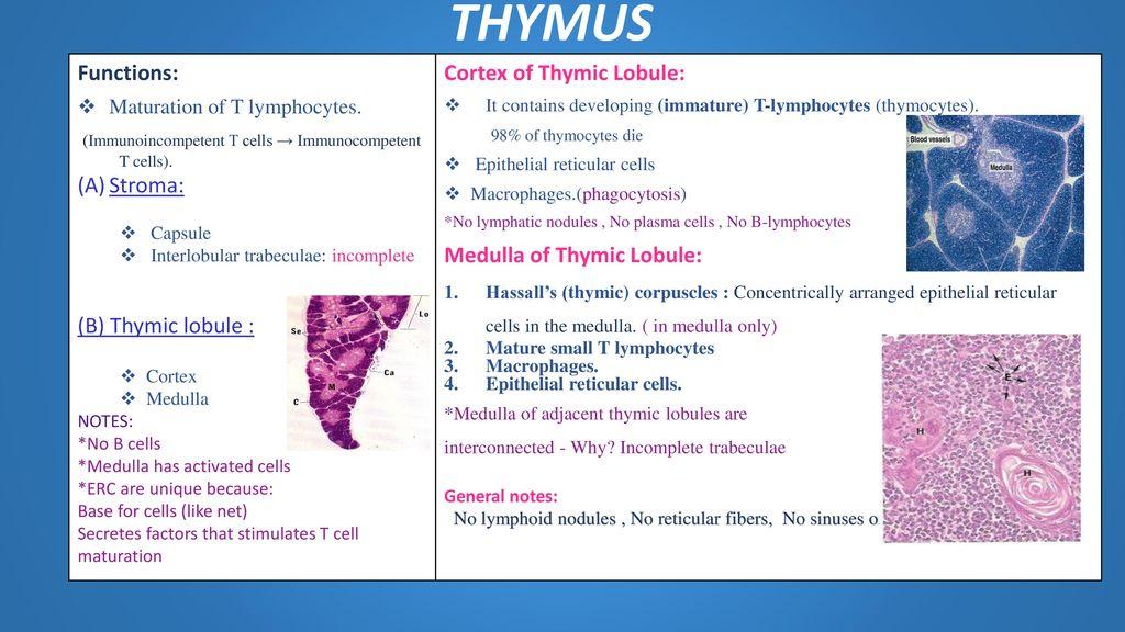 Histology Lymphoid Tissue Ppt Download