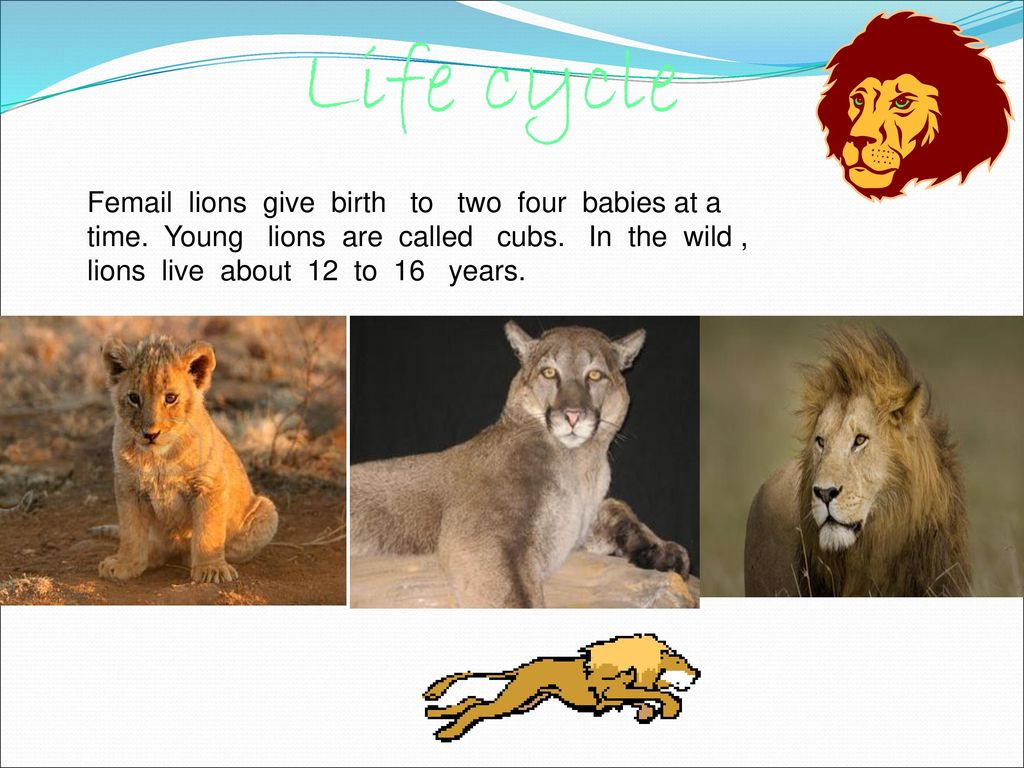 All About Lions By: sophia  - ppt download