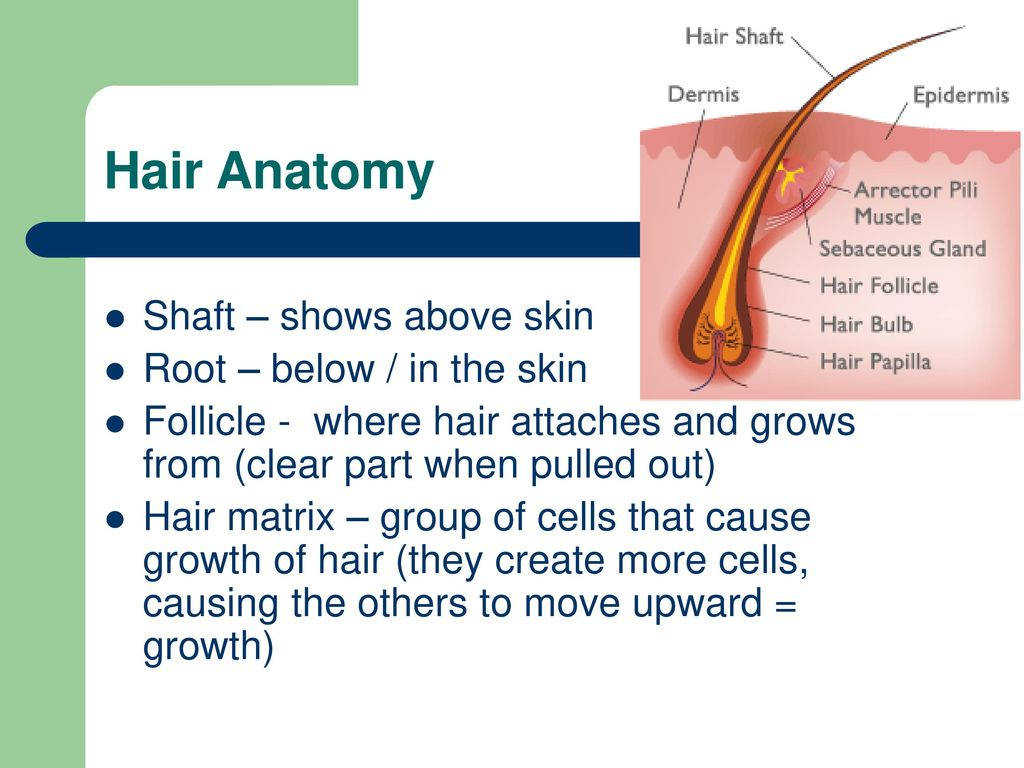 Nice Anatomy Of Hair Images Anatomy And Physiology Tissue