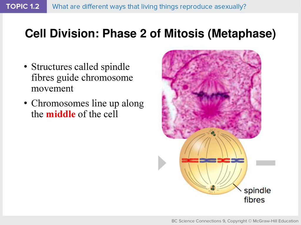 Bacteria reproduce asexually by mitosis metaphase