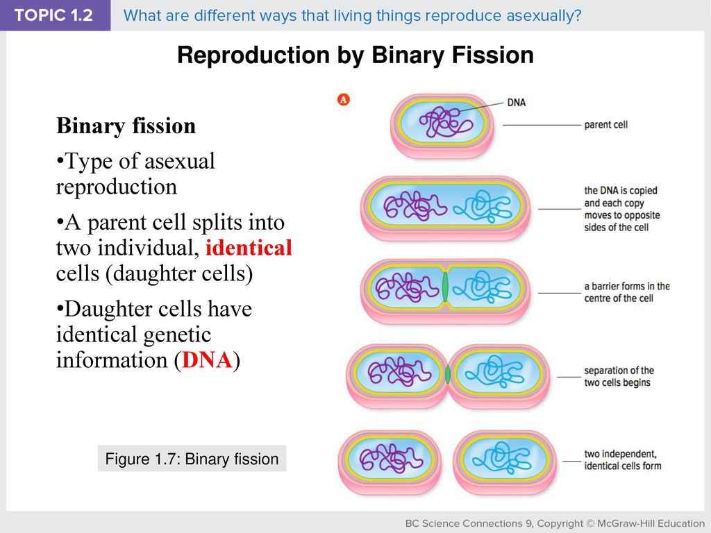 Binary Fission Topsimages