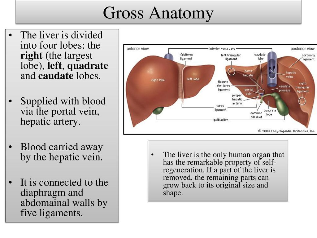 Histology of The Liver. - ppt download