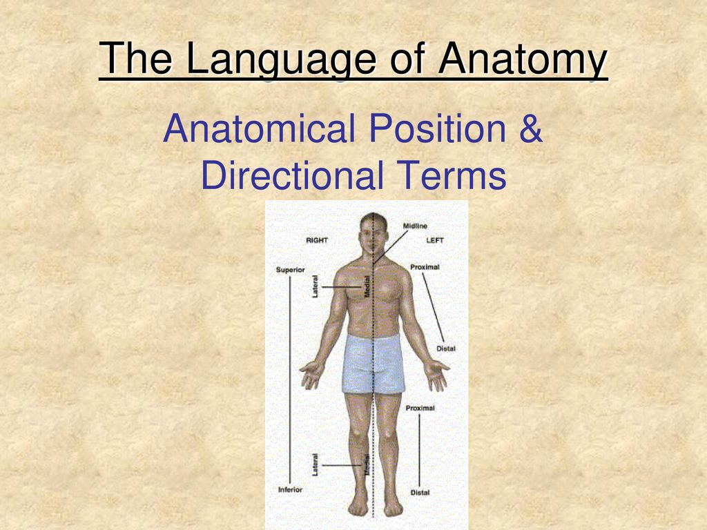 The Language of Anatomy - ppt download