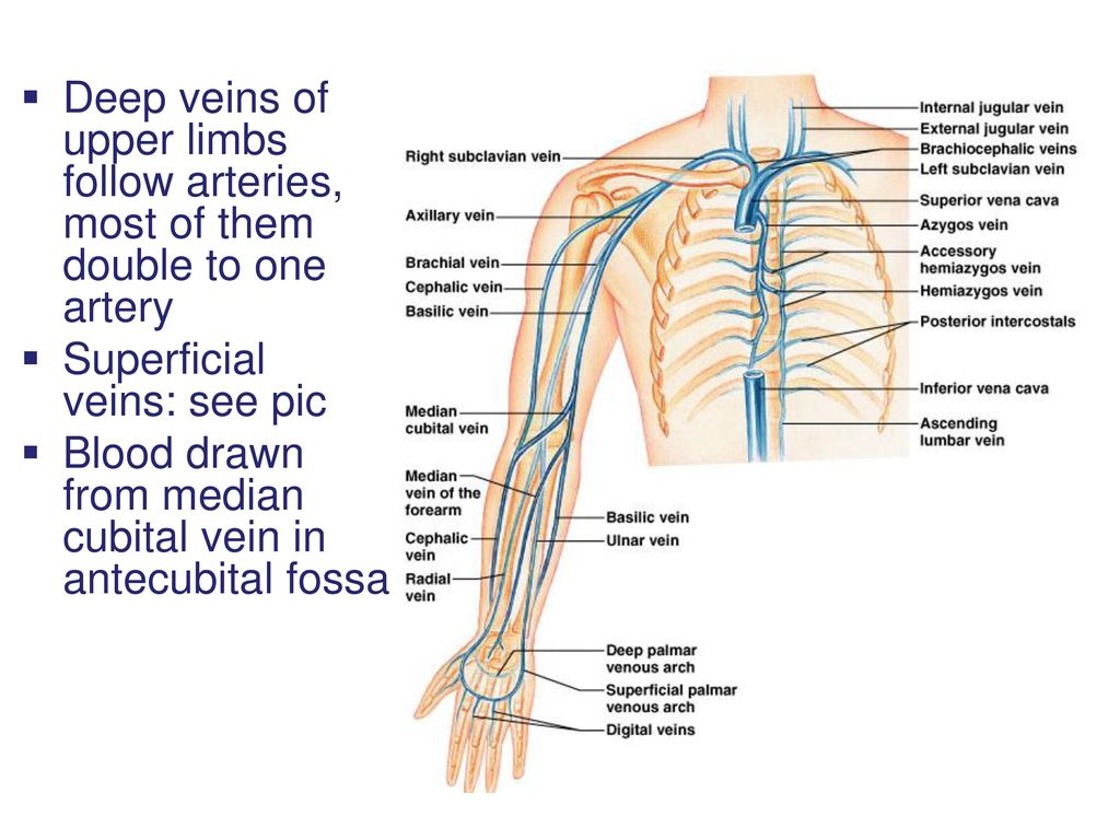 Venous Anatomy Of Upper Limb Images - human anatomy diagram organs