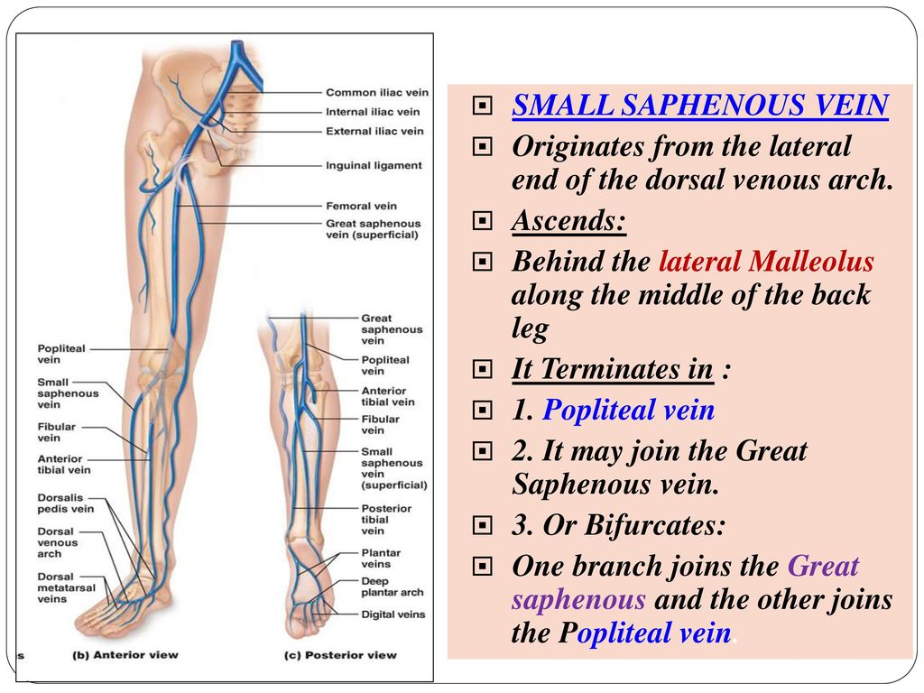 Arteries And Veins Of The Lower Limb Ppt Download