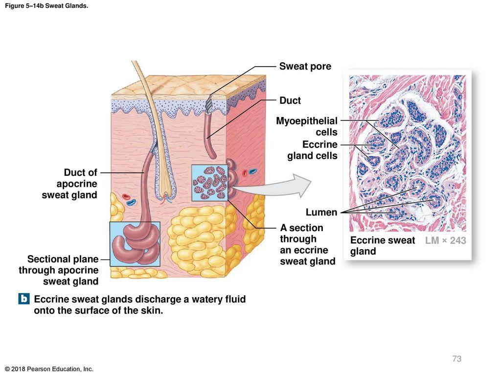 Luxury Anatomy Of Sweat Glands Motif Anatomy And Physiology Tissue