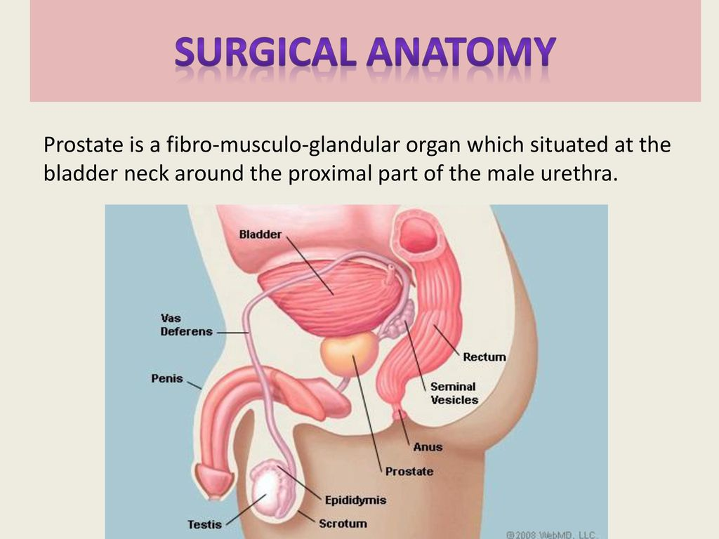 Exelent Male Anatomy Prostate Ensign - Anatomy and Physiology Tissue ...