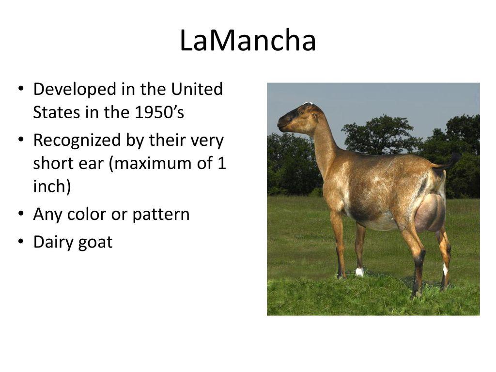 Goat Breeds  - ppt download