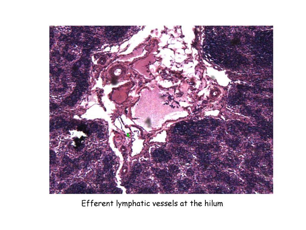 Thymus Cortex Medulla Slide No21 Material Human Fetus Thymus Ppt