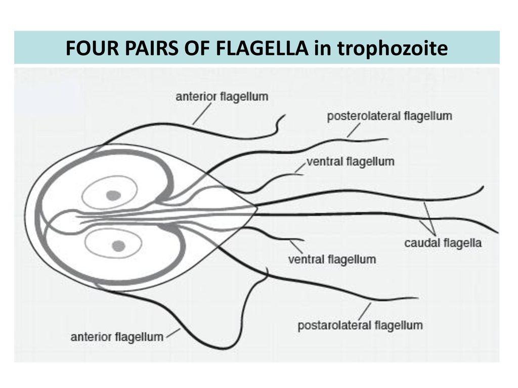 a flagella giardia gyógyulási ideje