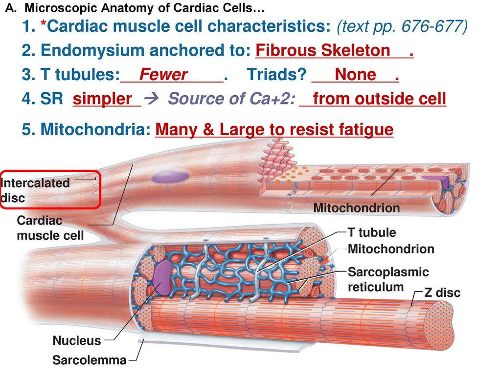 Contemporary Cardiac Muscle Cells Model - Anatomy and Physiology ...