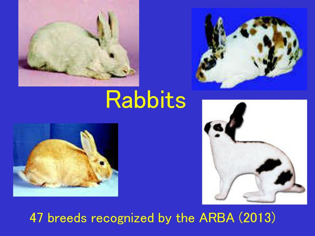 Rabbits 47 breeds recognized by the ARBA (2013)  - ppt download
