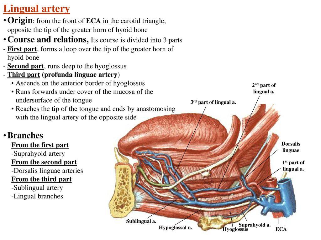 Lingual Artery | www.topsimages.com