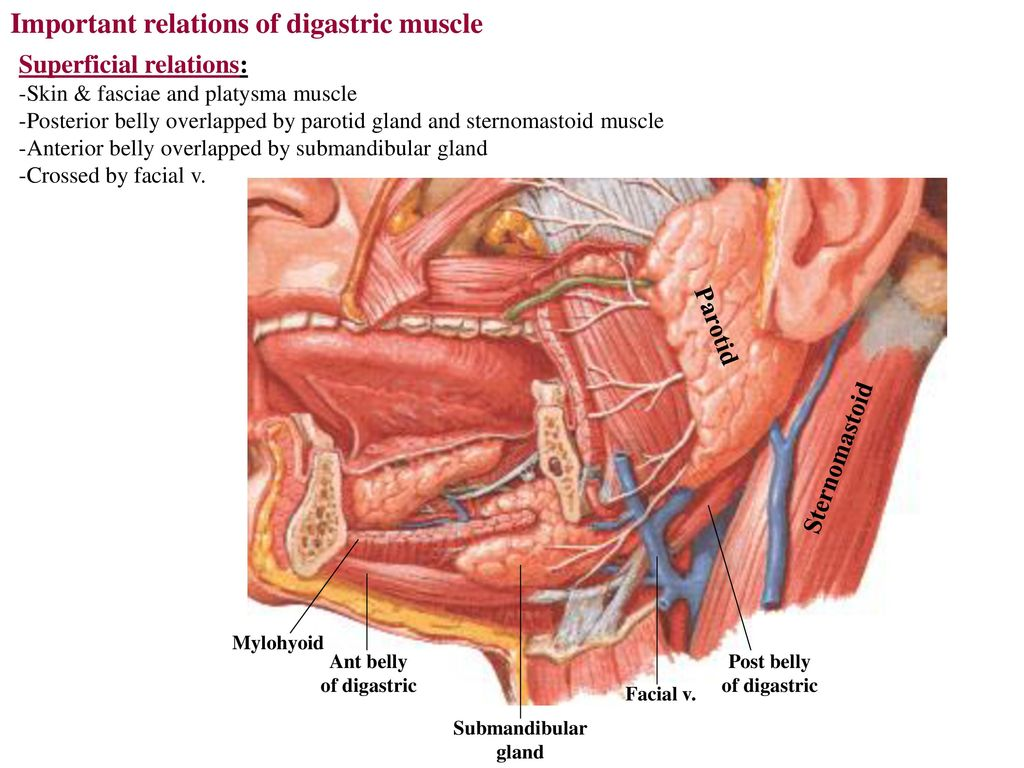 Posterior belly of digastric - ppt download