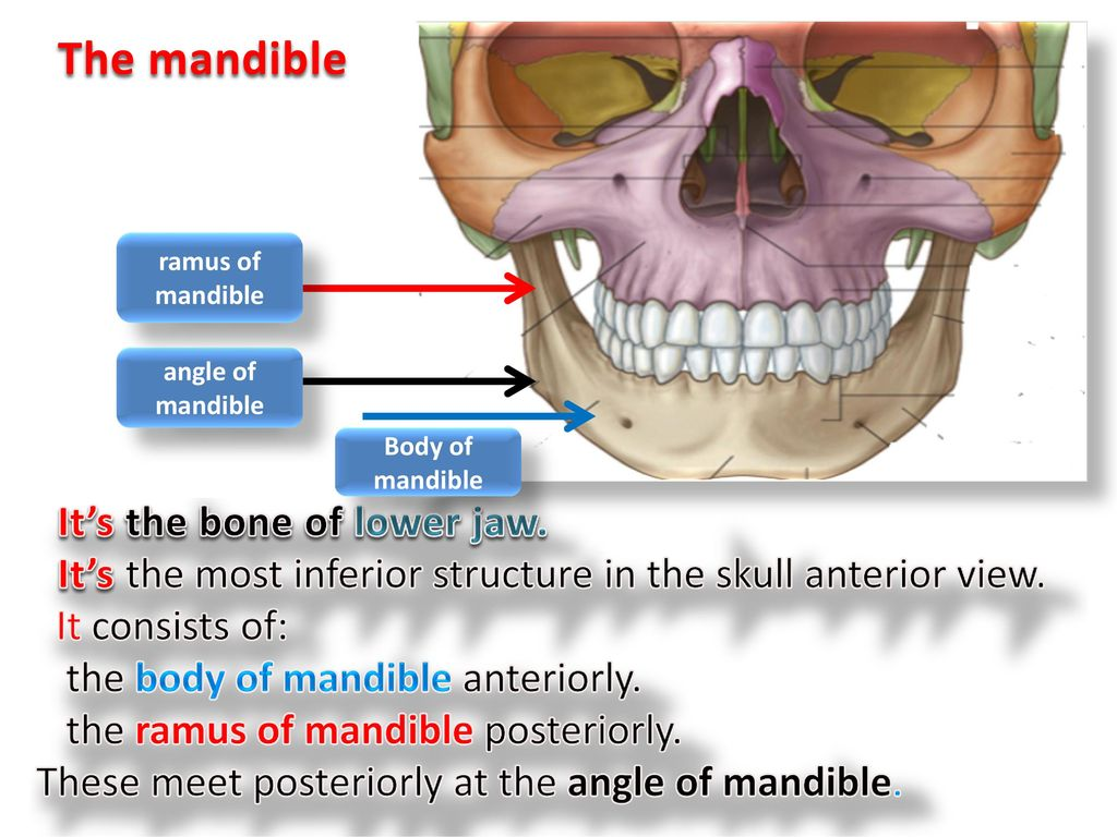 The Mandible Its The Bone Of Lower Jaw Ppt Download