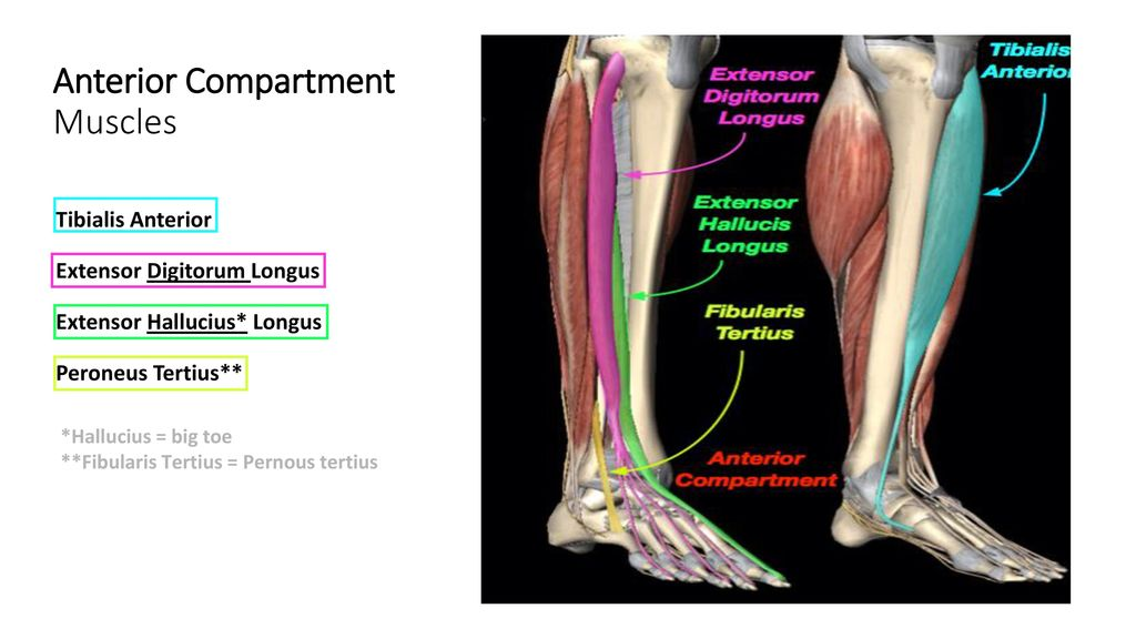 Frontal Lateral Compartment Of Leg And Dorsum Of Foot Ppt Download