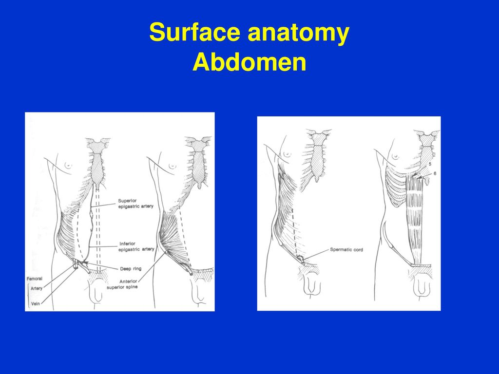Surface anatomy Lecture February, 2017 by Dr. T. Wenger. - ppt download