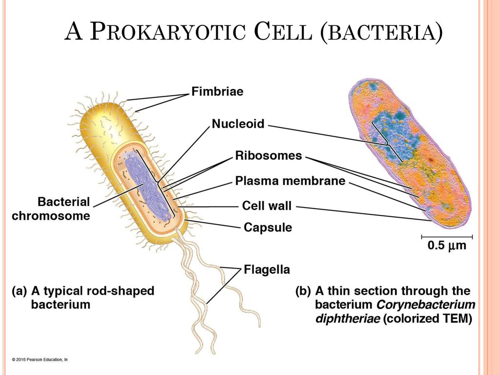 Ch 6 Warm Up 10 18 At Minimum What Structures Or Components Must A Fimbriae Prokaryotic Cell Edition 8 Bacteria