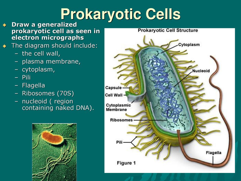 Topic 1 Cell Biology Ppt Download Prokaryotic Structure Diagram Cells Draw A Generalized As Seen In Electron Micrographs The Should