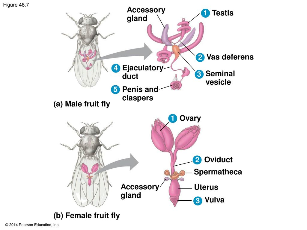 Fruit fly asexual reproduction budding