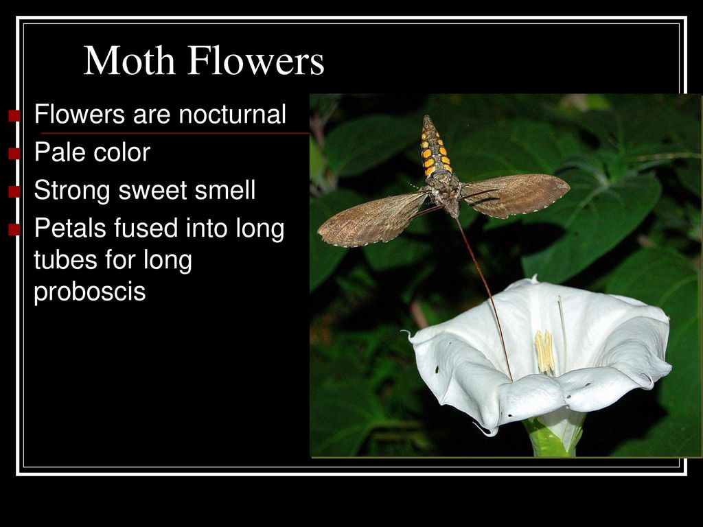 Flowers ppt download moth flowers flowers are nocturnal pale color strong sweet smell mightylinksfo