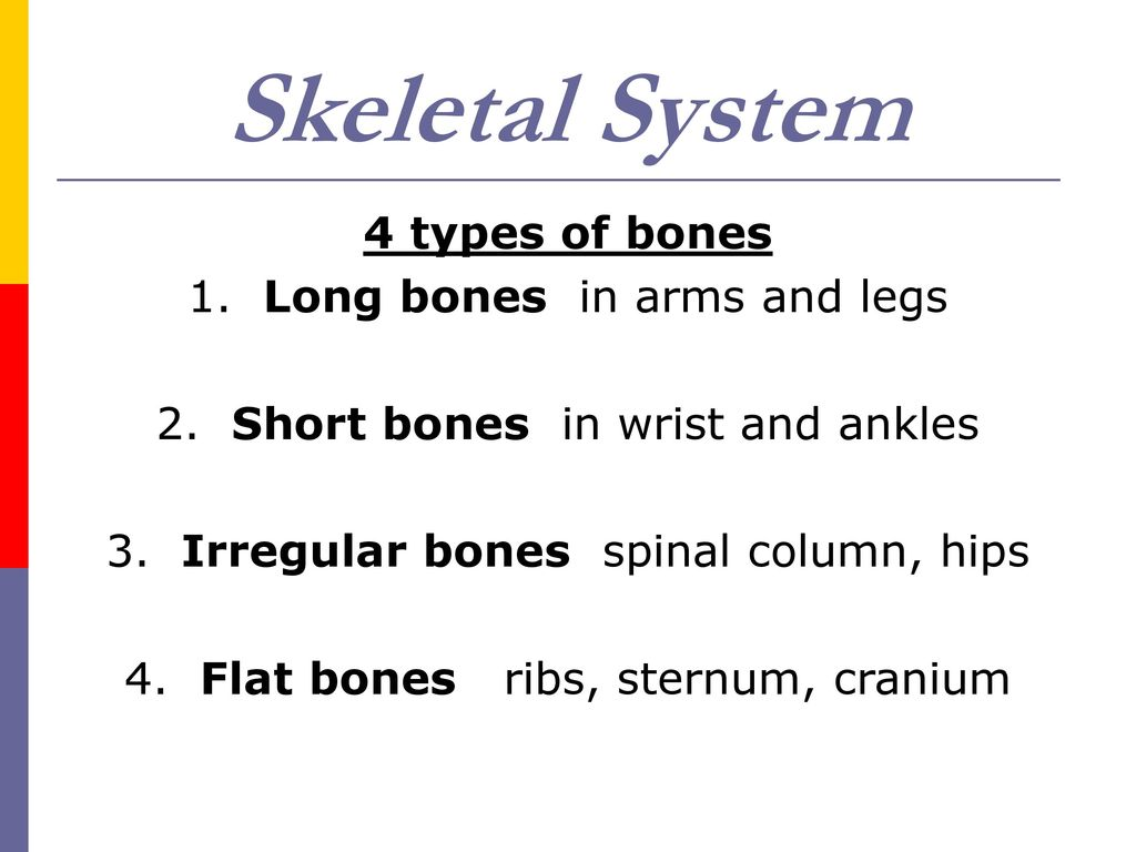 Skeletal System Functions Supports Body And Provides Shape Ppt