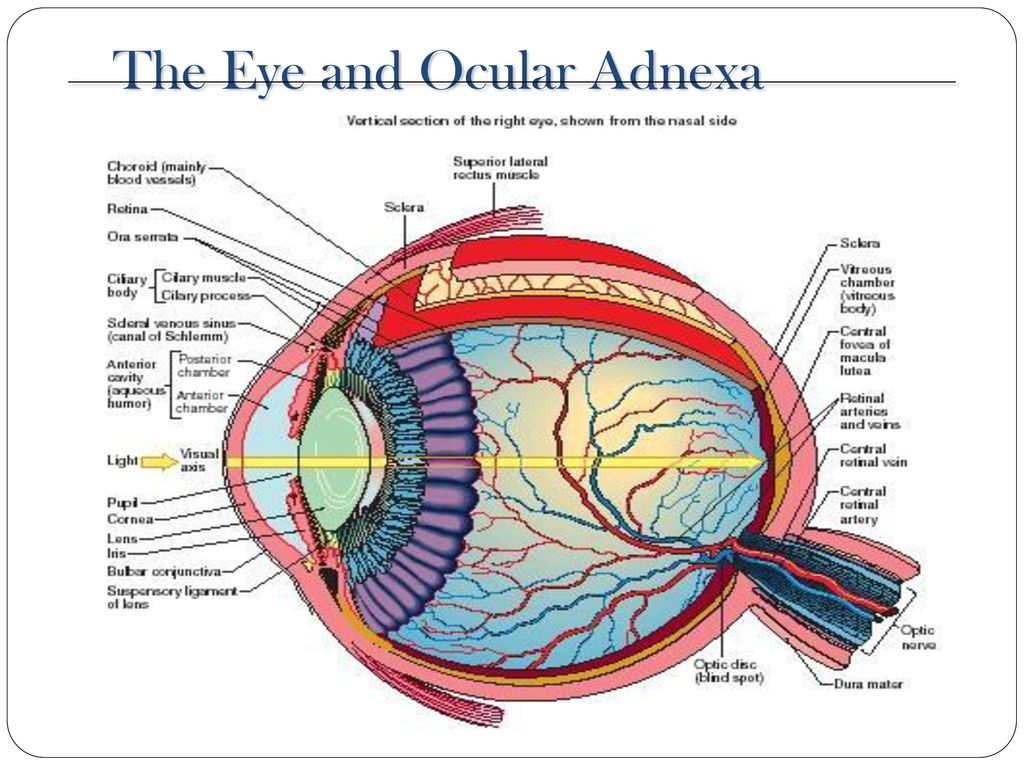 Anatomy For Icd 10 The Eye And Ocular Adnexa Ppt Download