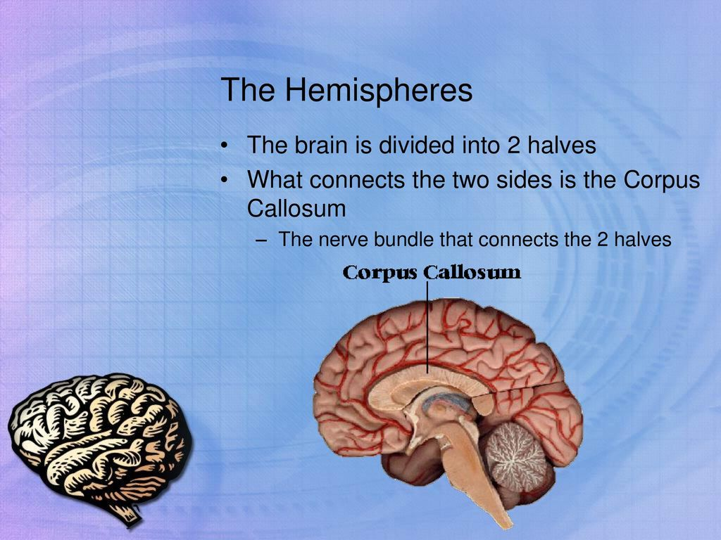 The Hemispheres The brain is divided into 2 halves