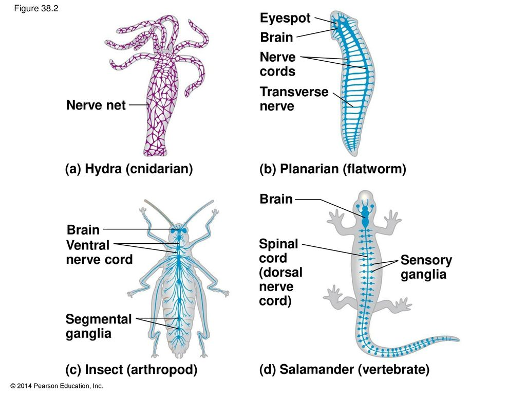 Nervous And Sensory Systems Ppt Download Hydra Cnidaria Diagram Images Pictures Becuo 5 B