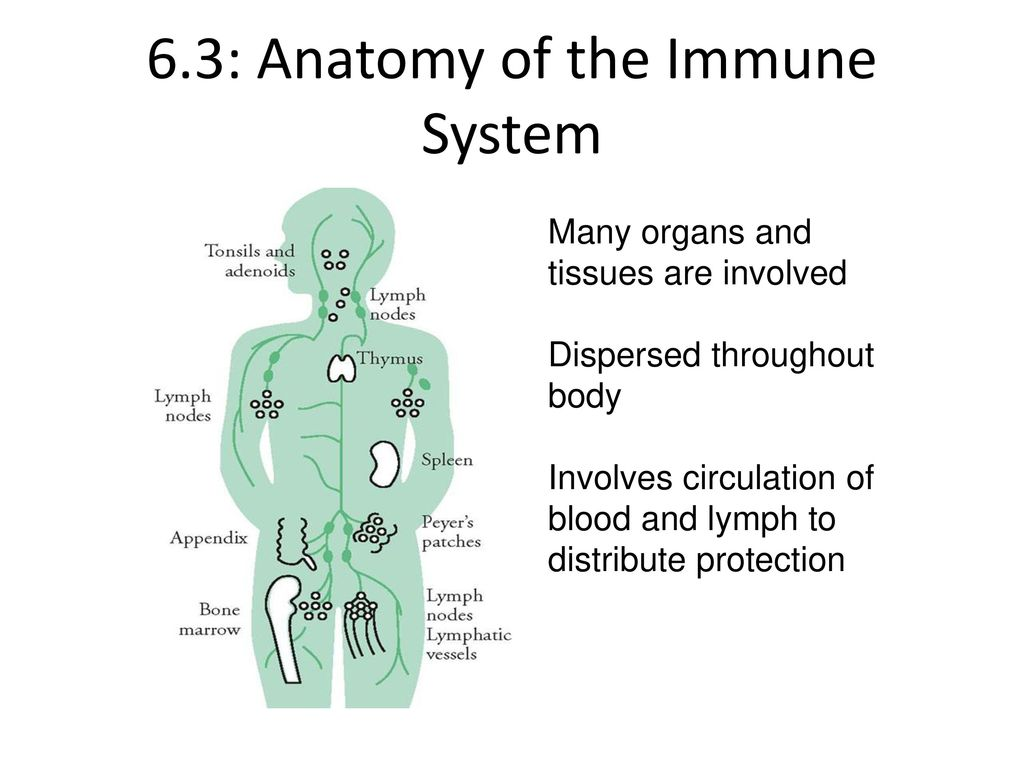 6.2 The Immune System-Anatomy and Cells - ppt download