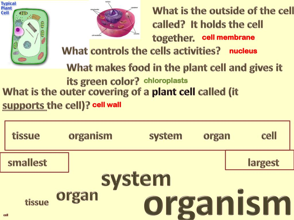 From Cells to Organisms - ppt download