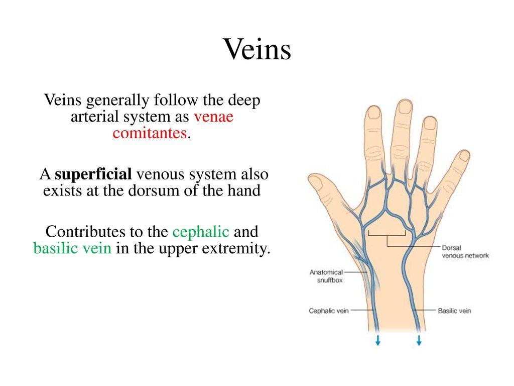 Posterior Hand Veins Topsimages