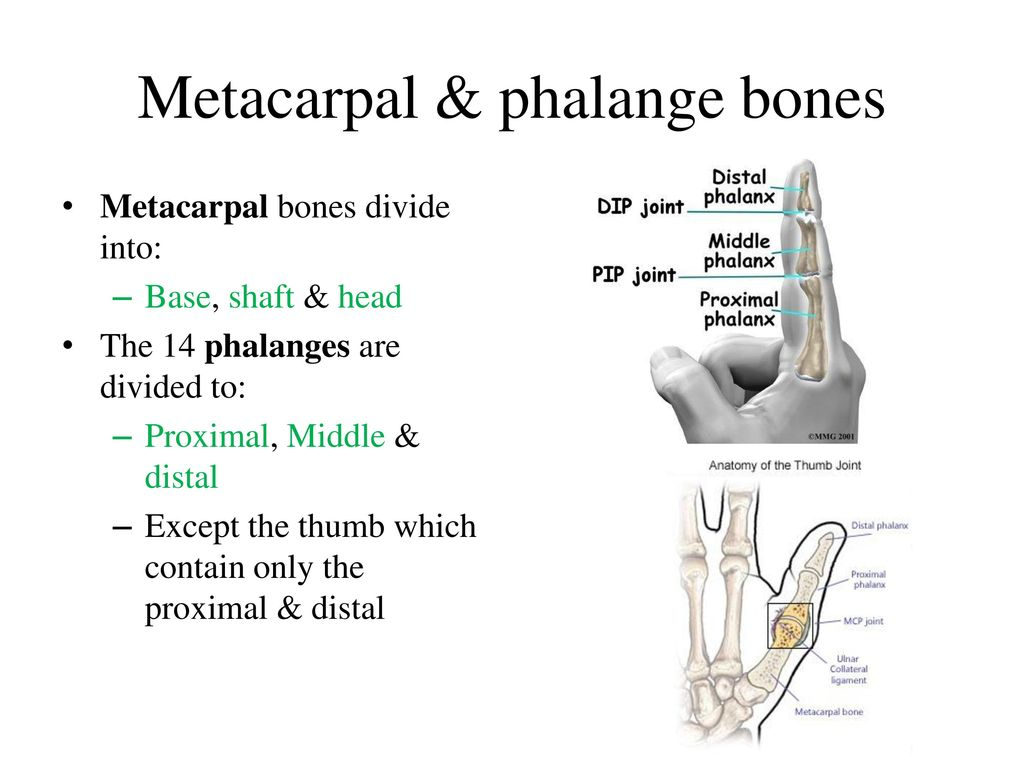Thumb Phalanges Topsimages