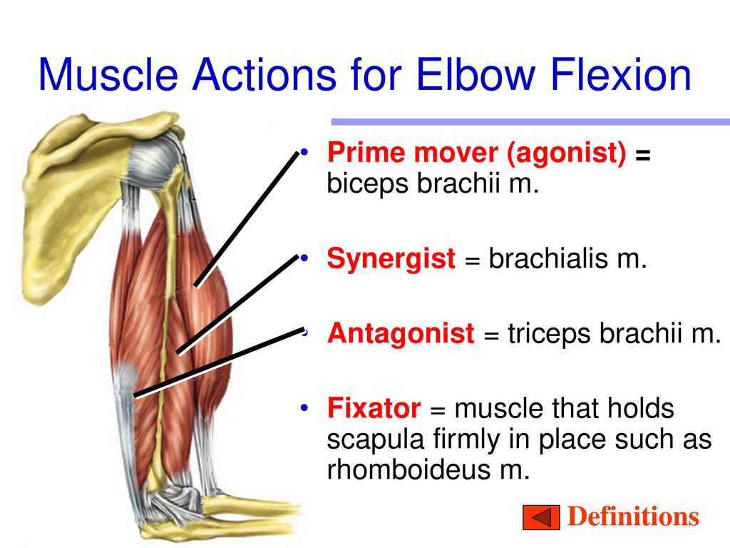 Anatomy & Physiology B Muscular System ppt download