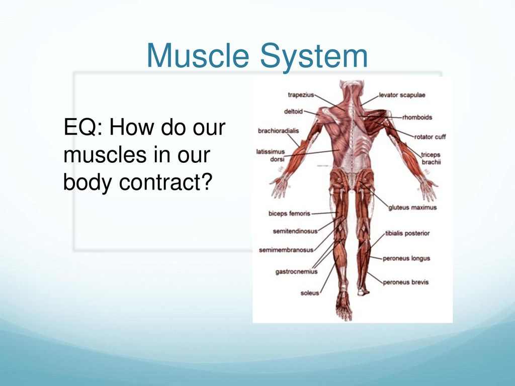 Eq How Do Our Muscles In Our Body Contract Ppt Download