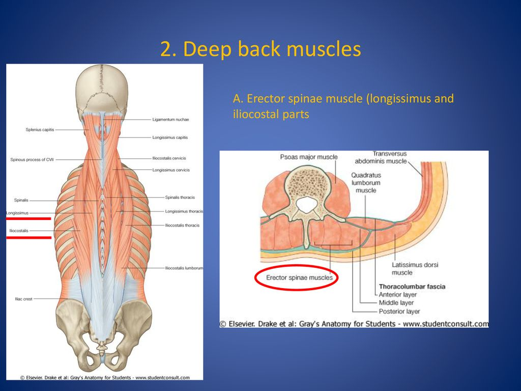 Gross anatomy and movements of vertebral column. Muscles of the back ...